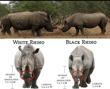 Black & white rhino comparison