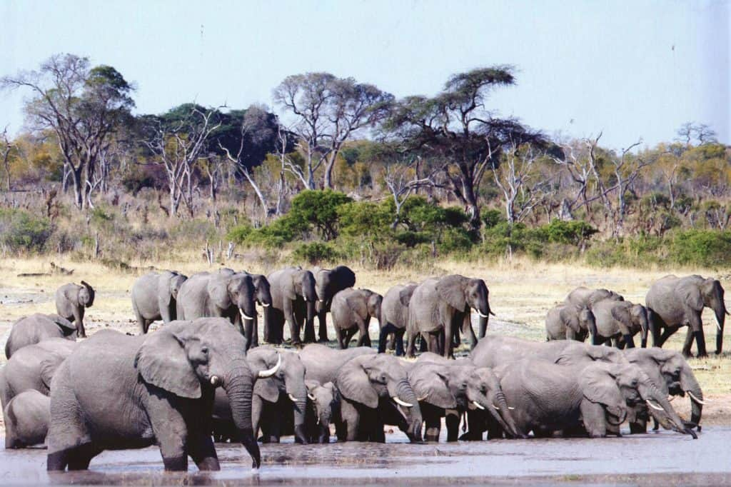 Elephants at a pan in Hwange