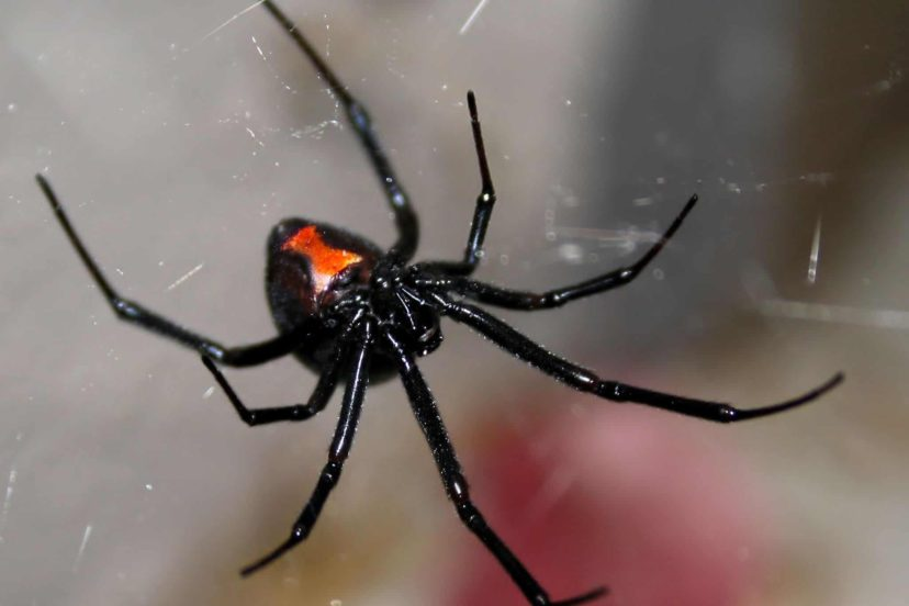 The Button Or Widow Spiders Of Zimbabwe
