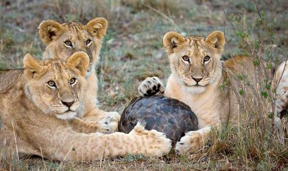 Lions failing to make an impression on a rolled-up pangolin