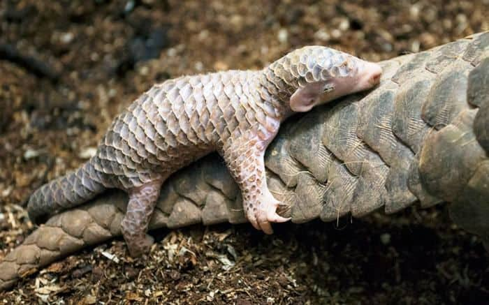Pangolin baby on its mother's tail