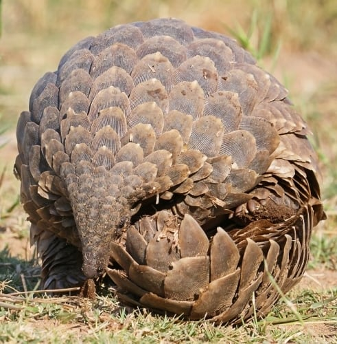 Pangolin in the process of rolling up
