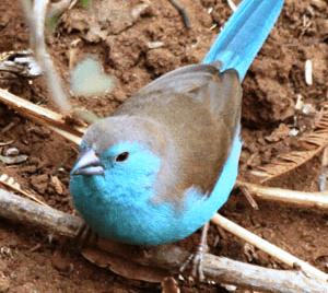 Blue Waxbill - Male