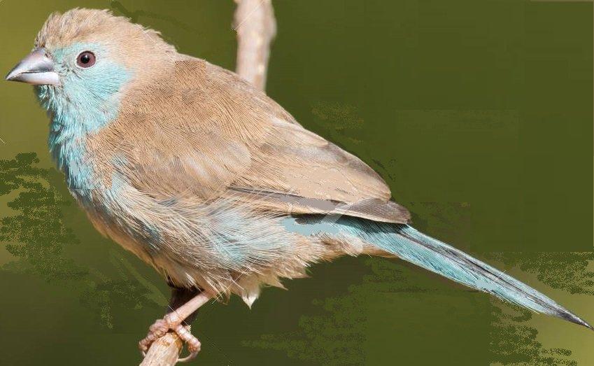 Blue waxbill - female