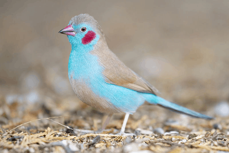 Blue waxbill - with red cheeks