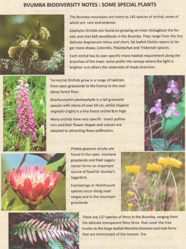 Bvumba - some special plants