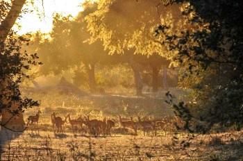 Impala, winter grazing, Mana