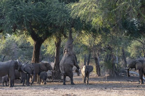 Mana Pools - elephants feeding off trees