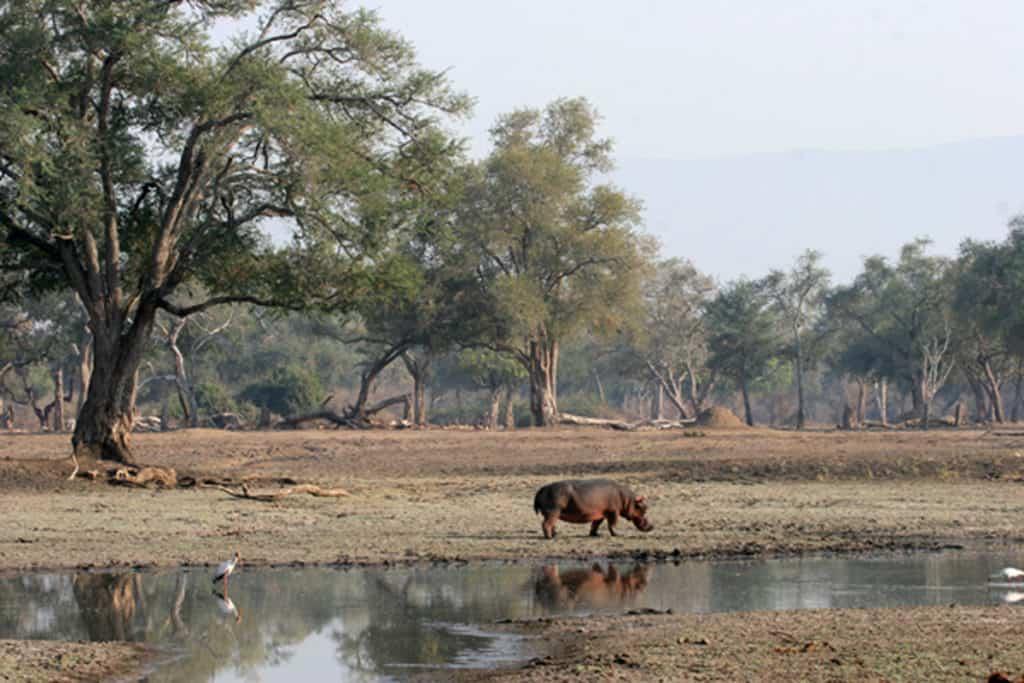 Mana - hippo