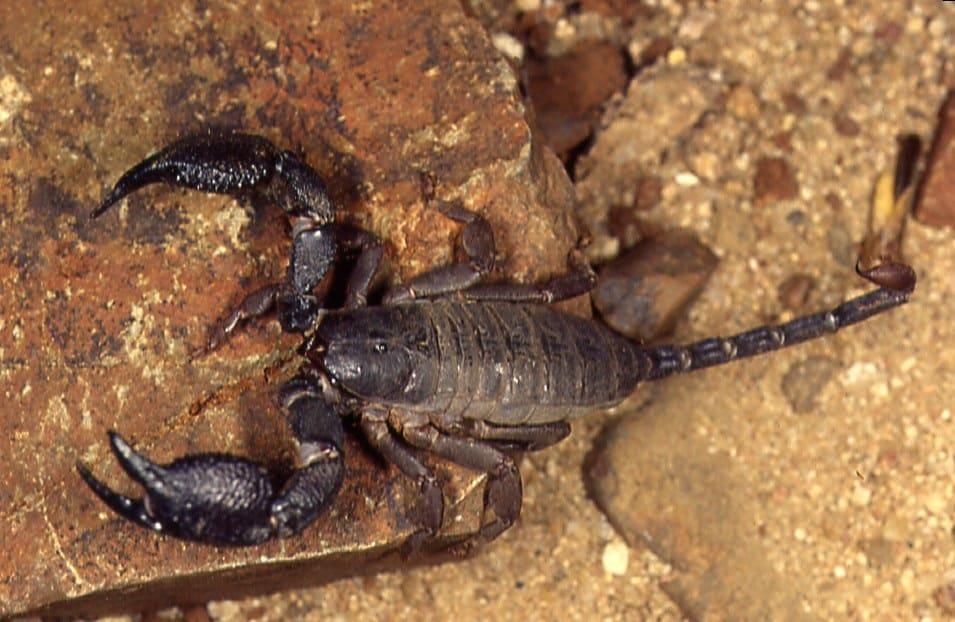 Scorpion - Opistacanthus