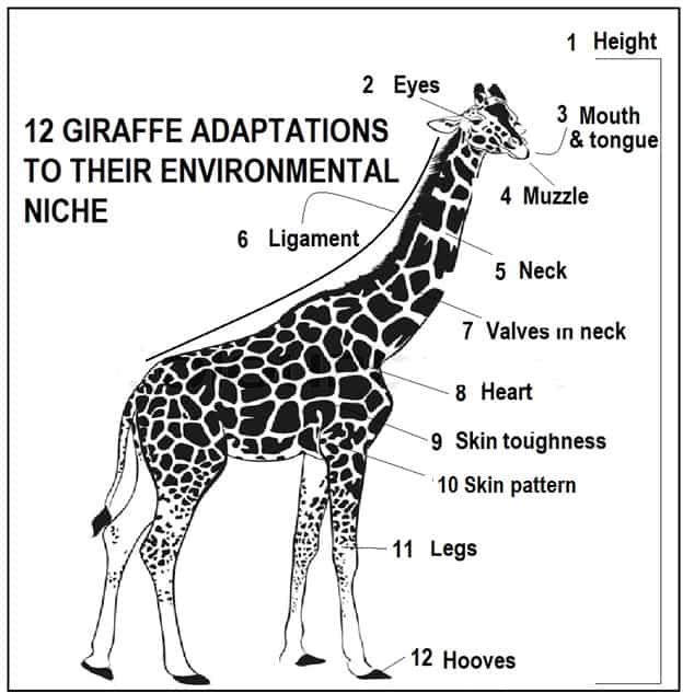12 Giraffe Adaptations to their Environmental Niche