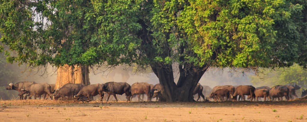 Buffalo in late winter at Mana