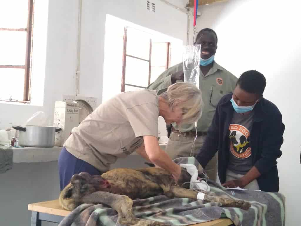 Dr Savage carrying out surgery on wild dog
