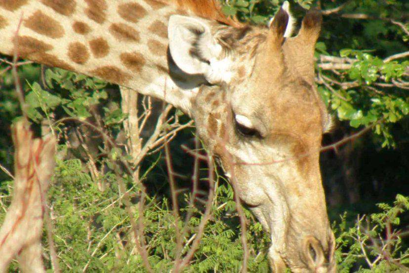 Giraffe: Part 2, Name, Species, Distribution & Social Behaviour