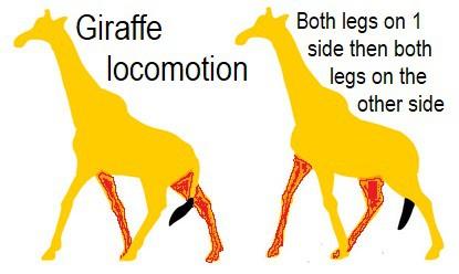 Giraffe locomotion