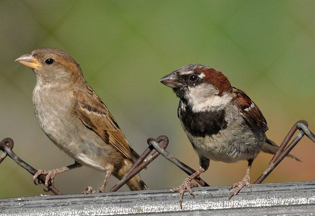 House sparrows (female & male)