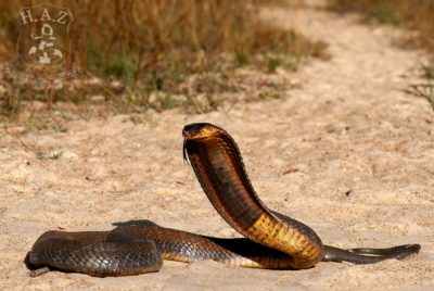 Snouted Or Egyptian Or Banded Cobra (Naja Annulifera)