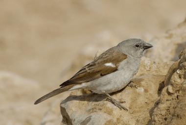 Sparrow - Southern, Grey Headed