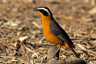 Robin Chat, White Brow