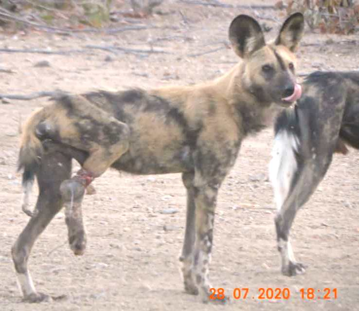 Wild dog in bush with snare