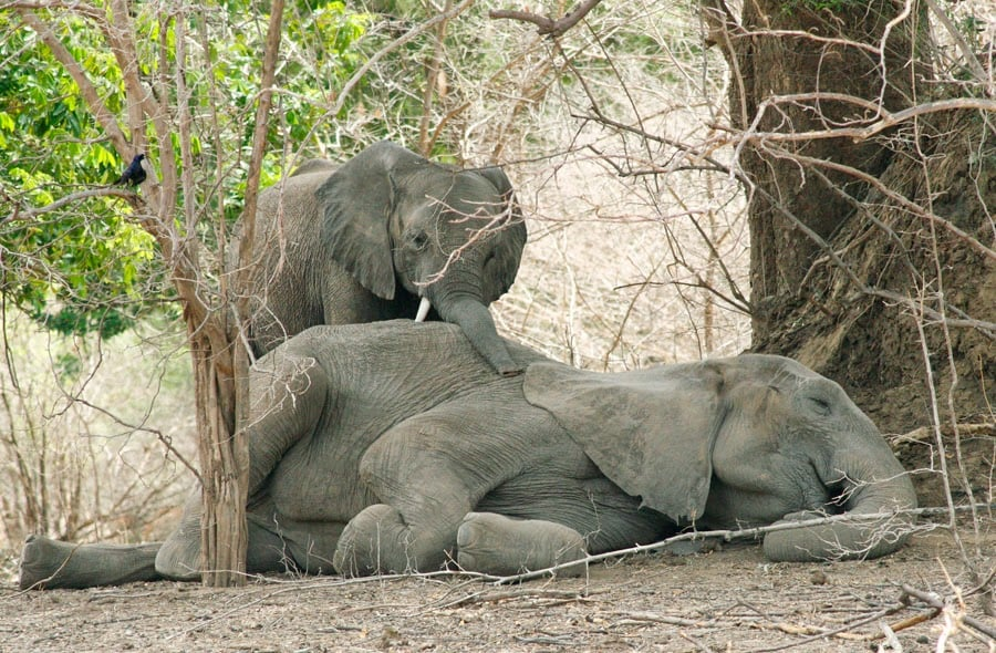 Worried baby elephant