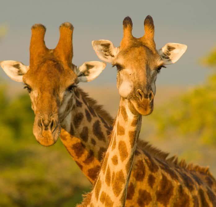 giraffe ossicorns, male vs female