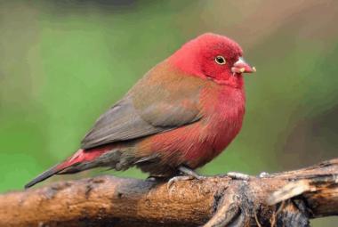 Firefinch, Red-billed