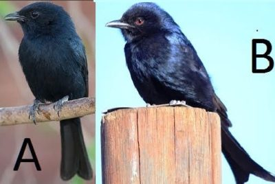 Black Flycatcher & Fork-tailed Drongo, Comparison