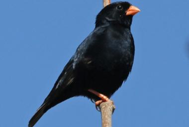 Village Indigo Bird