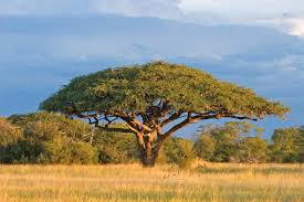 Classic African Flat-topped Tree