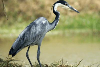 Heron, Black-headed