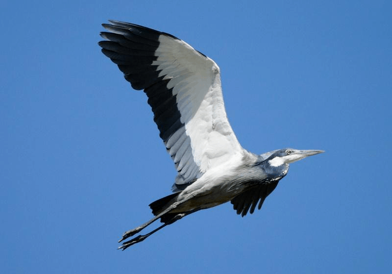Heron, black-headed, in flight