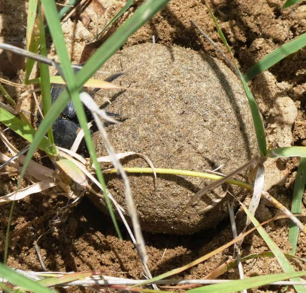 Dung beetle burying dung