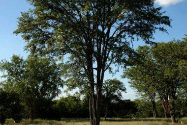 Mopane Tree, Zimbabwe Flora