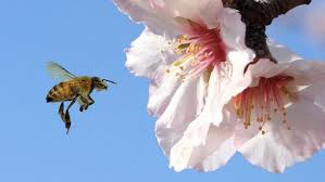Almond flower & bee