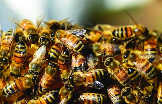 Bees: Threats To This Key Species
