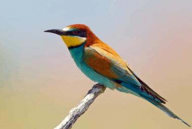 Bee-eater, European