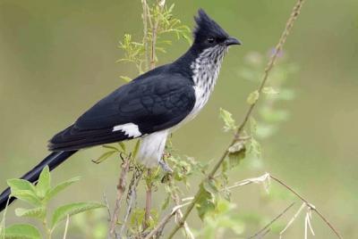 Levaillant's Cuckoo