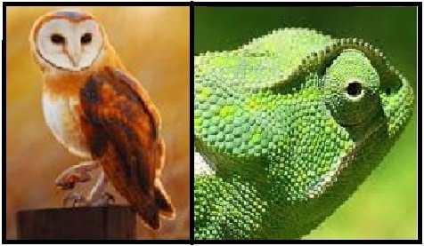 Owls & Chameleons: What Do They Have In Common?