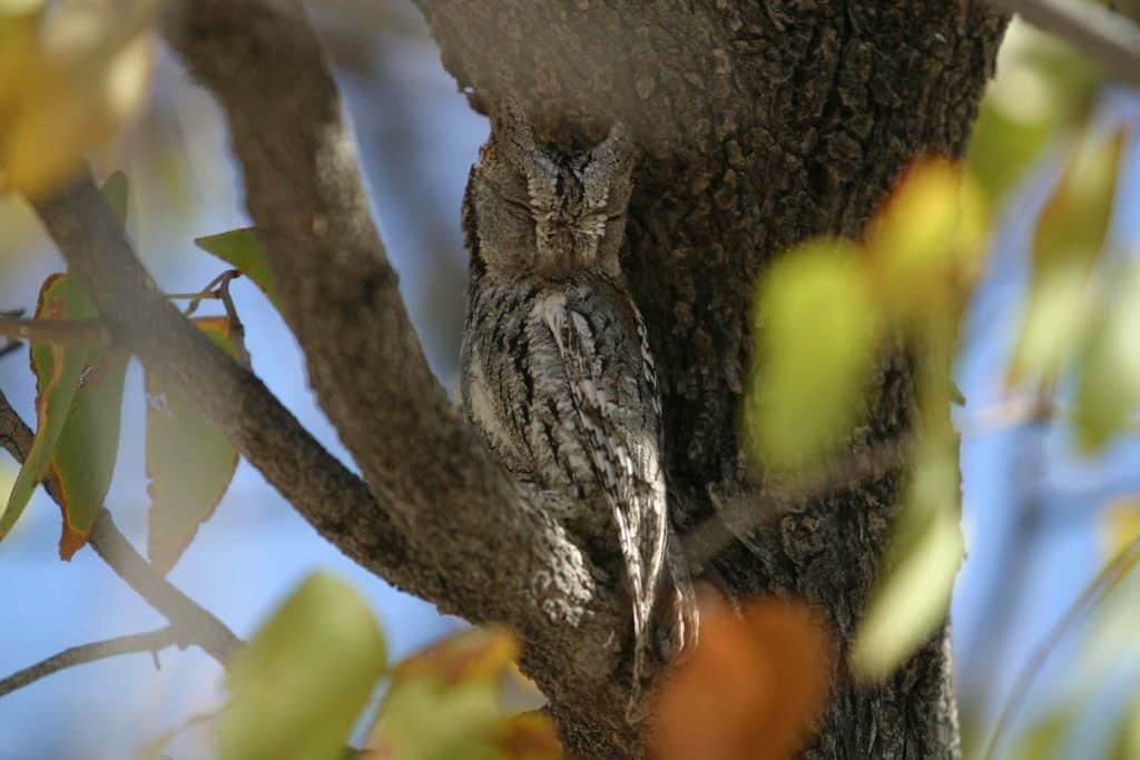 Scops owl in tree