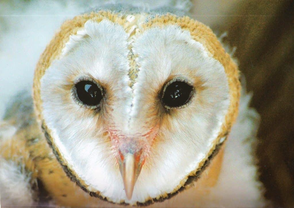 """Barn owl """"face"""""""