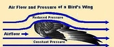Airfoil effect of a bird's wing