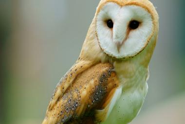 Barn Owl Perched