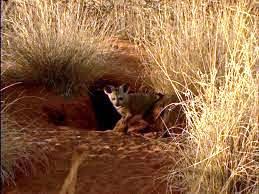 Bat-eared fox burrow