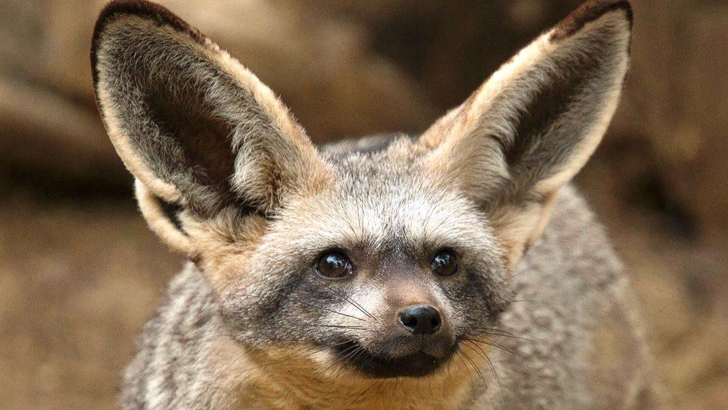Bat-eared fox ears