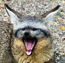 Bat-eared fox - lots of teeth