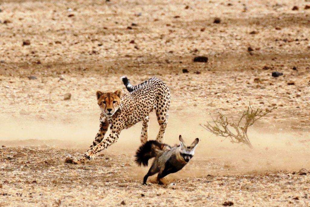 Cheetah chasing a bat-eared fox