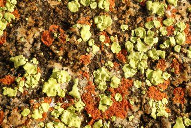 Lichen On Rock, Close Up