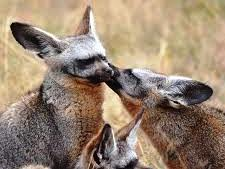 Bat-eared foxes grooming