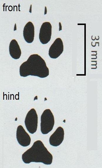 Bat-eared fox spoor